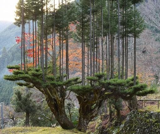 Экологам на вооружение. Японские кедры китаяма в технике 14 века 15