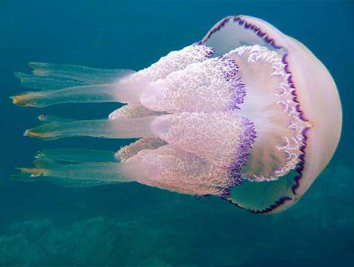 Из чего состоит медуза? 6