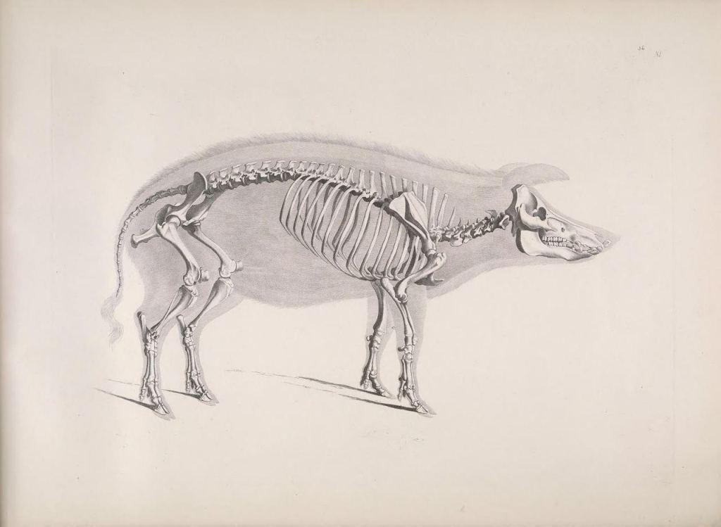 Иллюстрации скелетов животных Эдуарда Жозефа д'Альтона (1821–1838) 2