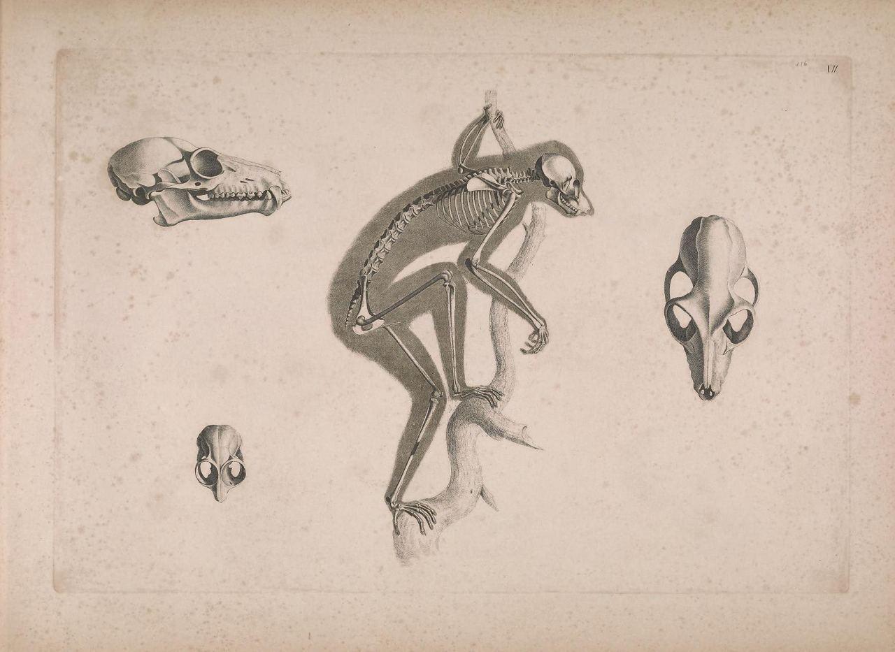 Иллюстрации скелетов животных Эдуарда Жозефа д'Альтона (1821–1838) 1