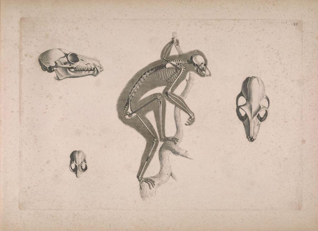 Иллюстрации скелетов животных Эдуарда Жозефа д'Альтона (1821–1838) 8