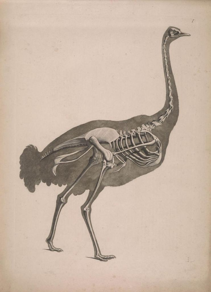 Иллюстрации скелетов животных Эдуарда Жозефа д'Альтона (1821–1838) 12