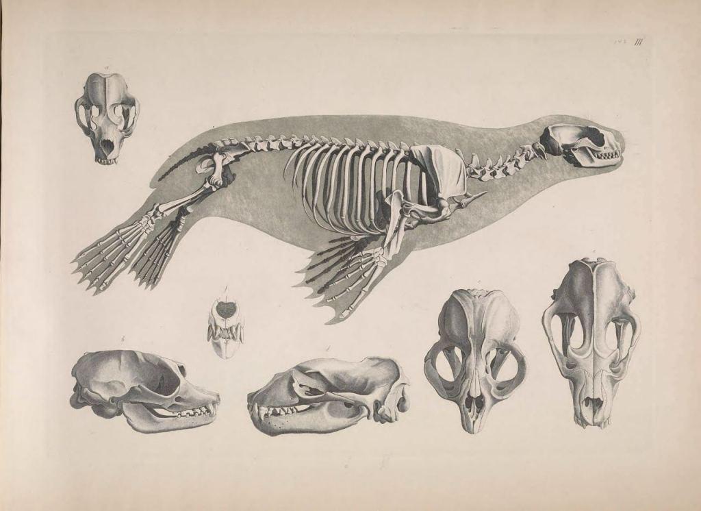 Иллюстрации скелетов животных Эдуарда Жозефа д'Альтона (1821–1838) 9