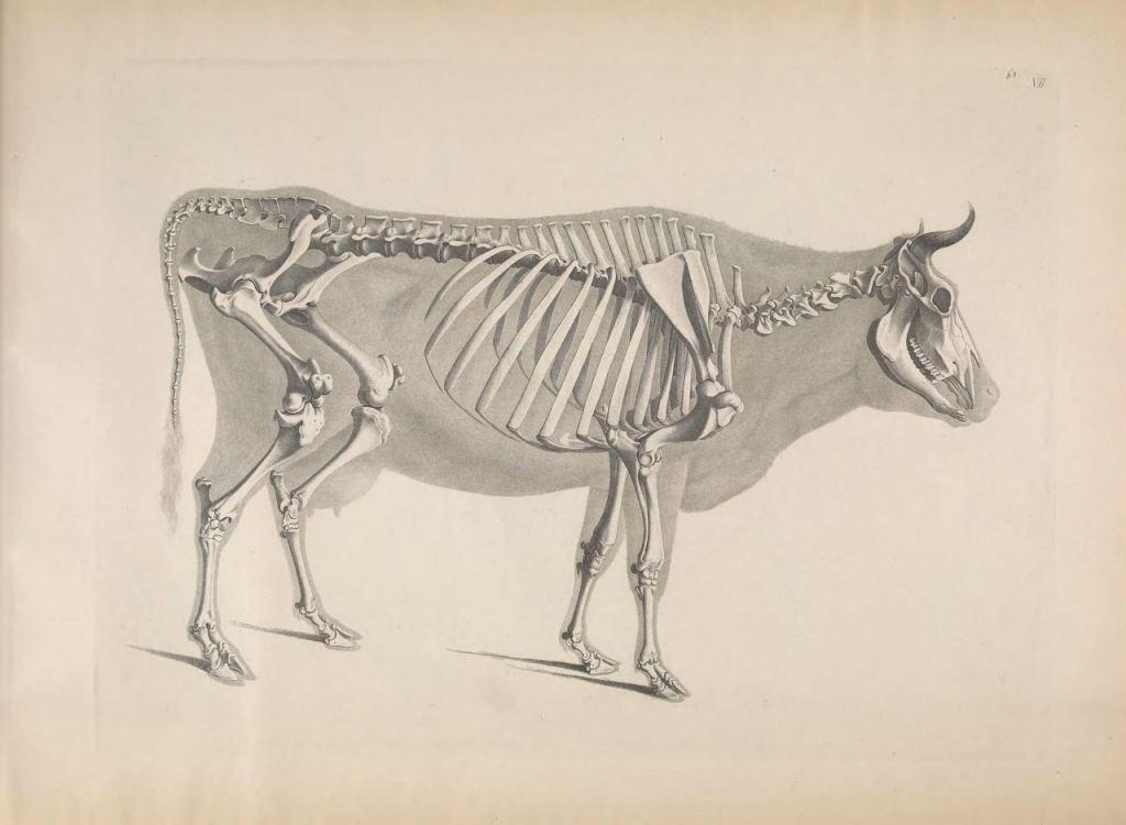 Иллюстрации скелетов животных Эдуарда Жозефа д'Альтона (1821–1838) 6