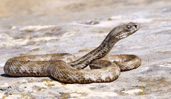Змеи, ядовитые и целительные 5