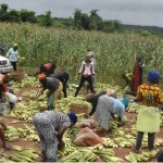 A cross section of traders purchasing maize from the farm