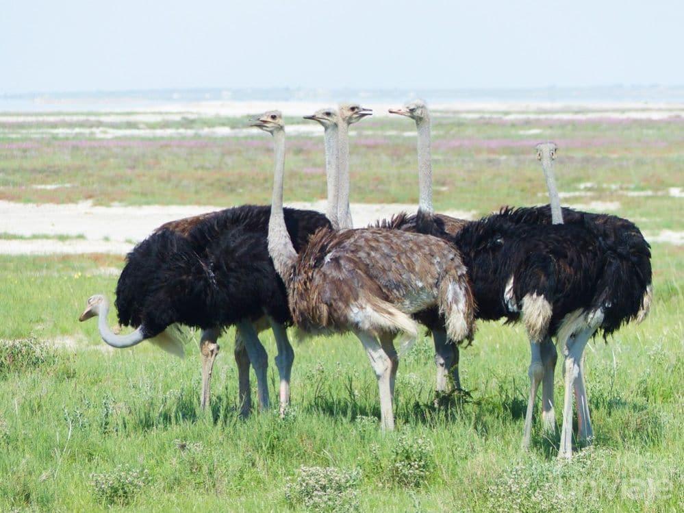 Avestruces Etosha National Park