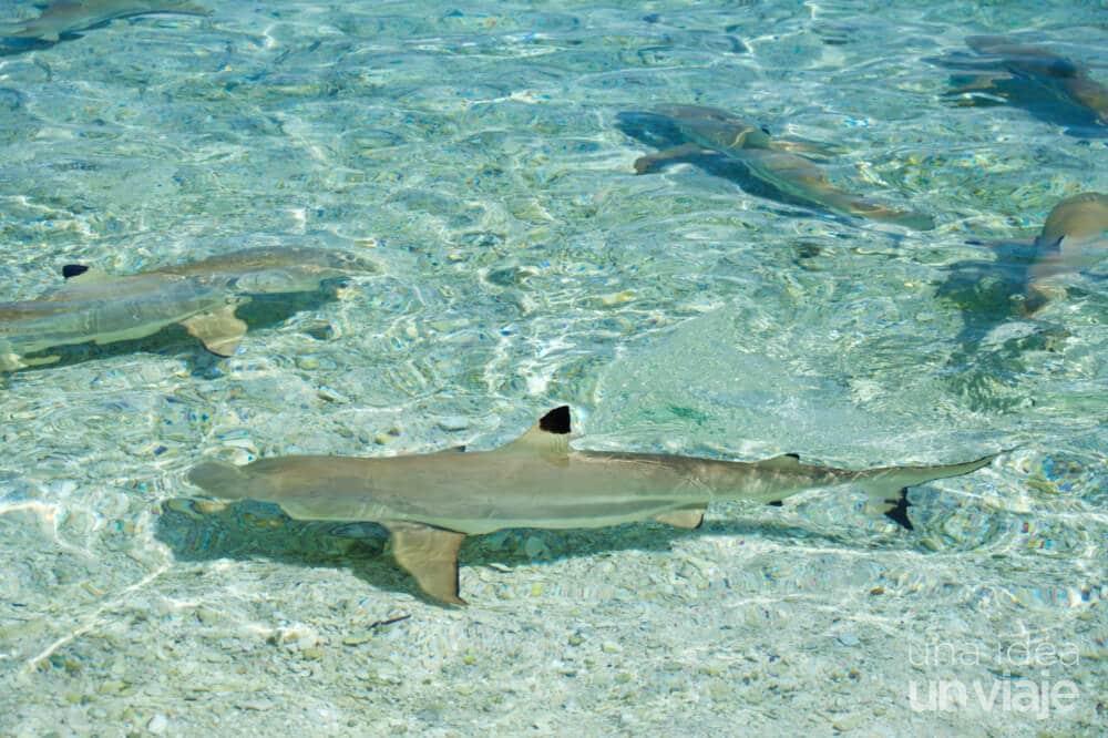 Tiburones en Polinesia Francesa