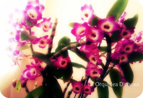 La Orquidea Dichosa