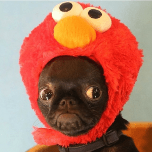 Tickle Me Elmo Pug