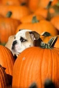 Puppy picking out halloween pumpkin