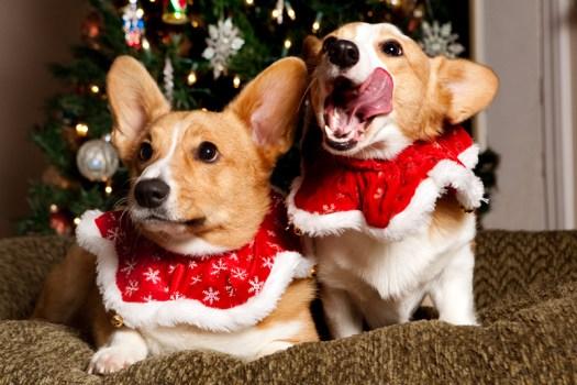 welsh-corgi-christmas-card-photo-outtakes-1