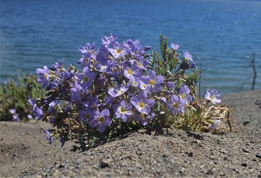 A picture of a Jacob's Ladder flower