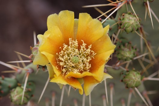 An image of a prickly pear cactus flower