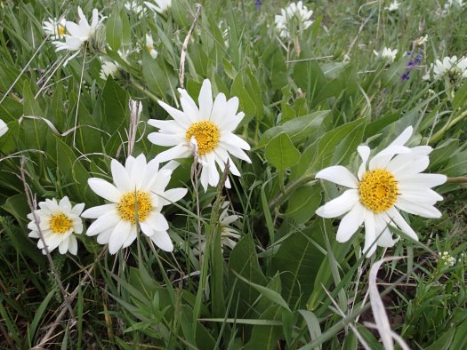 An image of White Mules Ears flowers