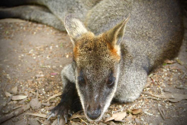 Pademelon Wallaby Up Close Phillip Island Wildlife Park