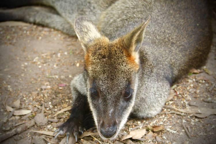 Pademelon Wallaby Up Close Phillip Island Wildlife Park