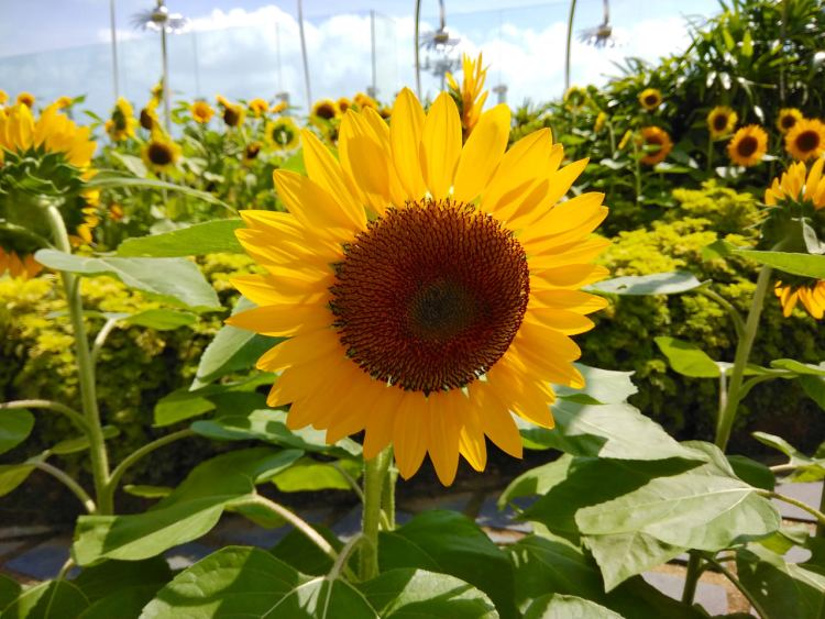 Sunflower Garden Singapore Changi Airport Layover