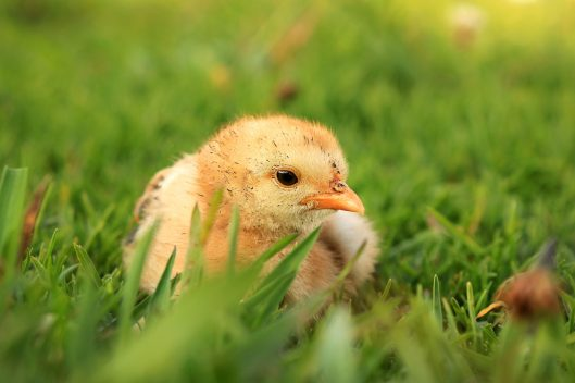 A newly-hatched chick at the sanctuary
