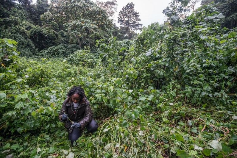 Dr. Gladys collecting gorilla fecal samples from the night beds in Bwindi.