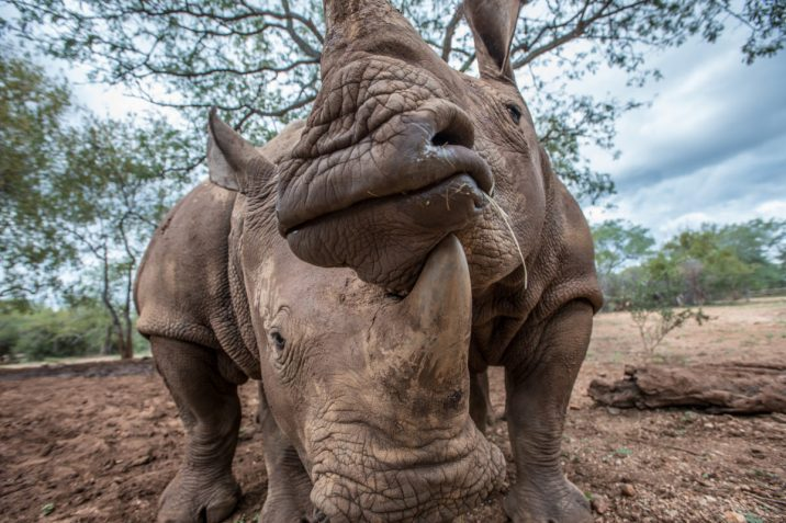 Young rhinos orphaned by poaching