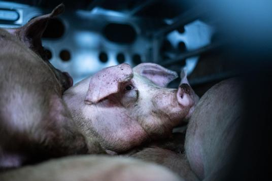 Pigs in a transport truck en route to slaughter. Los Angeles, USA, 2019.