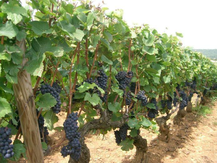 Cepas de Pinot Noir en Bourgogne. Wikipedia.