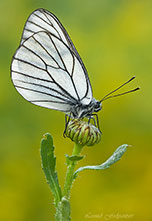 The_Black-veined_White