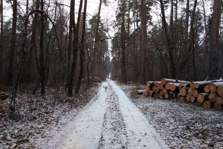 Інноваційне лісівництво: Боярська ЛДС знищує заказники під Києвом!