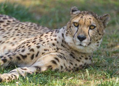 cheetah nap