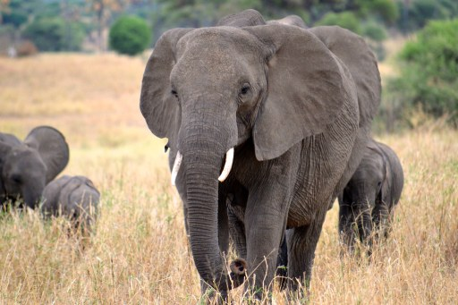 elephant roaming