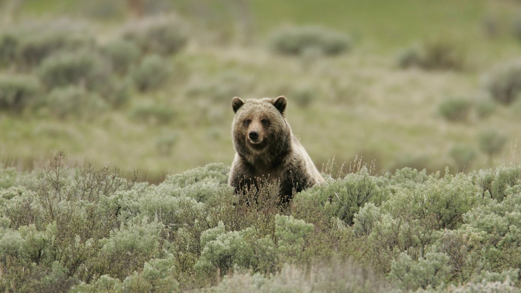 grizzly bear 1