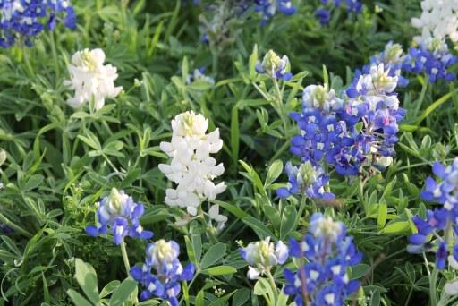 white bluebonnet