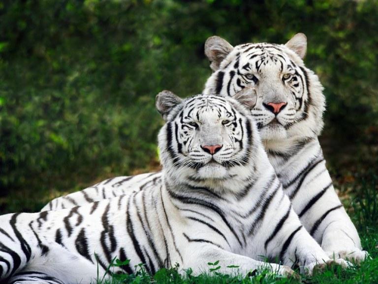 white tiger couple