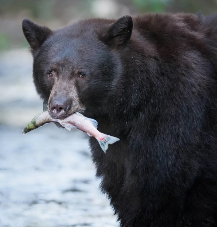 black bear and fish