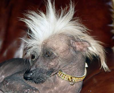 https://i2.wp.com/unclerooney.com/wp-content/uploads/2013/06/chinese_crested_2.jpg