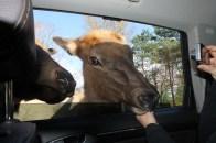 Les animaux aiment les voitures.
