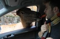 La paix est faite quand l'homme blanc et l'animal partage le cigare orange de la paix.