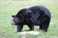 L'ours est gros et élégant à la fois, c'est un modèle de grace pour ceux qui se trouve un peu d'embompoint.