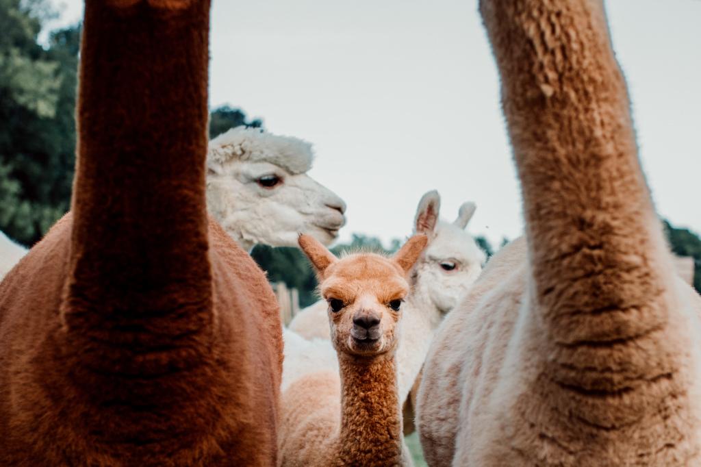 Alpaca Yurt Wedding- Baby