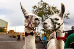 The wellbeing farm - alternative wedding venue- alpaca wedding - donkey wedding - alpaca best man - quirky wedding 1