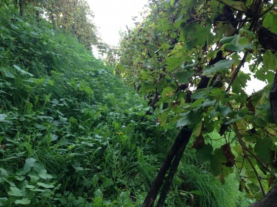 steep vineyard