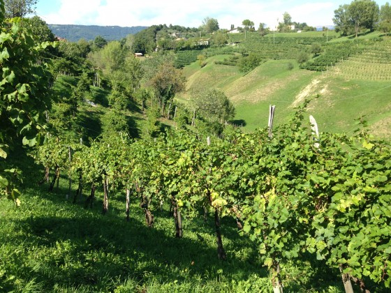 old vines on hill