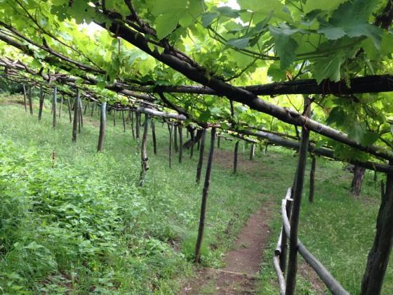 under old vines