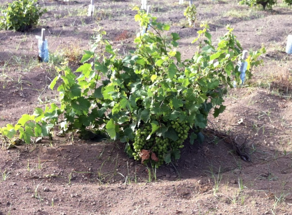 bush vine