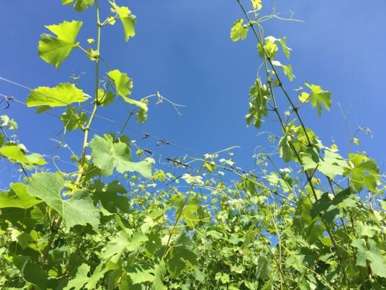 happy vines