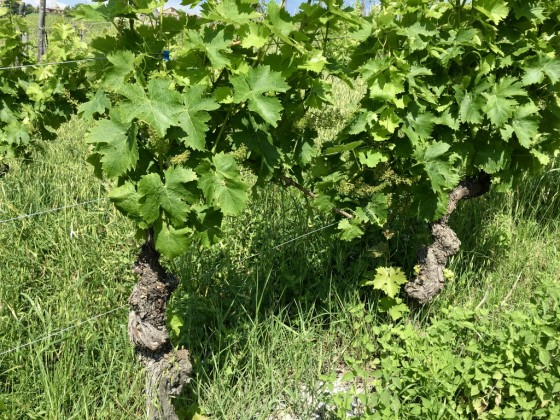 vines old