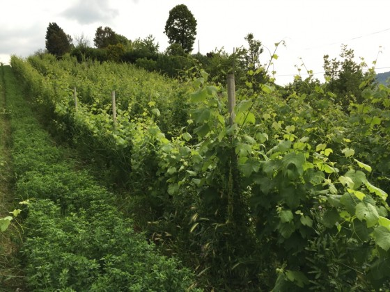 2nd vineyard