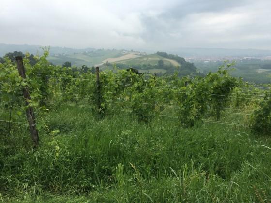 vineyard toward Alba