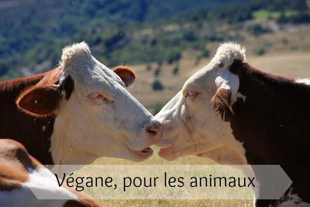 vaches, article végane pour les animaux